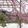 【2017】京都平安神宮の桜の見頃と周辺のおすすめランチ5選!