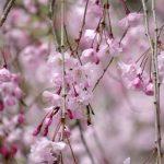 【2017】京都二条城の桜の見頃と人気おすすめランチカフェ6選