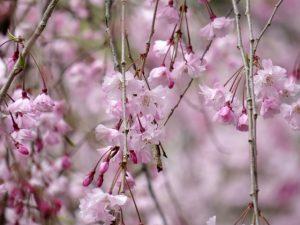 二条城 京都 桜