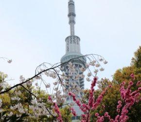 隅田公園 花見 混雑