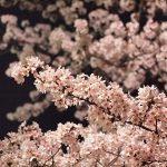 井の頭公園のお花見の見頃時期と席の場所取りや混雑状況と屋台は?