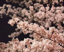 井の頭公園 お花見 見頃 時期