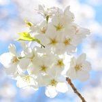 隅田公園の花見の場所取りの時間と混雑状況は?デートコースはこれ!