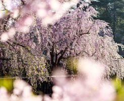 京都 桜 おすすめ 名所