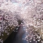 目黒川の桜の開花予想とお花見のスポットは?混雑状況と禁止事項