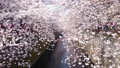 目黒川 桜 開花予想 お花見 おすすめ スポット