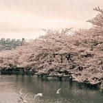 上野公園の花見の宴会に時間制限が?場所取りのマナーと混雑状況は?
