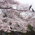 2017年代々木公園花見の場所取りの時間と禁止事項と混雑状況