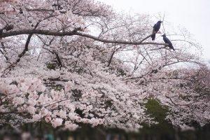 代々木公園 花見 場所取り 時間