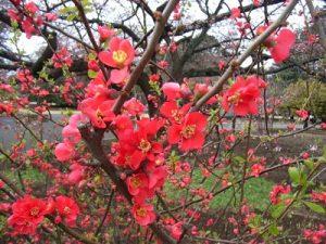 新宿御苑 花見 混雑 予想