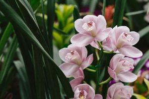 胡蝶蘭 プレミアガーデン 母の日 花 プレゼント ギフト