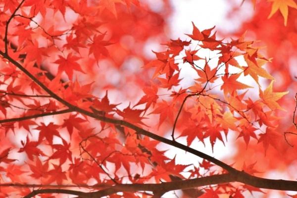 2018年東京都内の楓の紅葉時期